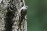 Kortsnavelboomkruiper - Central European Treecreeper -   Certhia familaris