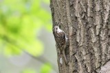 Taigaboomkruiper - Eurasian  treecreeper -  Certhia familiaris