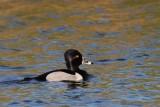 Ringsnaveleend -   Ring-necked duck - Aythya collaris