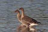 Toendrarietgans - Tundra bean goose - Anser serrirostris