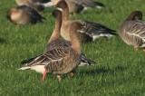Kleine rietgans - Pink-footed goose - Anser brachyrhynchus