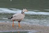 Indische gans - Bar-headed goose  - Anser indicus