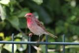 Roodmus - Scarlet rosefinch - Carpodacus erythrinus