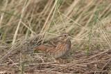 Witkopgors - Pine bunting - Emberiza leucocephalos
