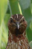 Kwartel -  common quail - Coturnix coturnix
