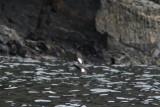Zwarte zeekoet - Black guillemot - Cepphus grylle