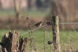Bruine klauwier - Brown shrike  - Lanius cristatus