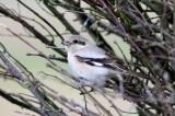 Steppeklapekster - Steppe Grey Shrike - Lanius pallidirostris