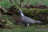 Houtduif - Common Wood Pigeon - Columba palumbus