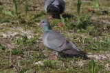 Holenduif - Stock dove - Columba oenas
