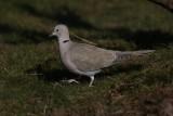 Turkse tortelduif - Collared turtle-dove - Streptopelia decaocto