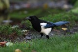 Ekster - Magpie - Pica pica
