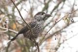 Kraaien - Crow's / spreeuw - Starling / Wielewaal - Golden oriole
