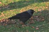 Noordse kauw - Nordic Jackdaw - Corvus monedula monedula