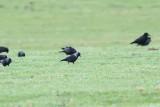 Russishe kauw -Russian jackdaw - Corvus monedula soemmerringii