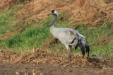 Kraanvogel - Crane