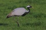 Jufferkraanvogel  - Demoiselle Crane  - Grus virgo