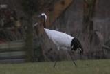 Chinese kraanvogel - Red-crowned Crane - Grus japonensis