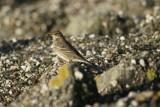 Oeverpieper - Rock pipit - Anthus petrosus