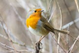 Roodborst - Robin - Erithacus rubecula