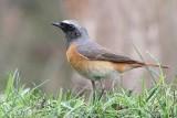 Gekraagde roodstaart - Redstart - Phoenicurus phoenicurus