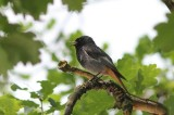 Zwarte roodstaart - Black redstart - Phoenicurus ochruros
