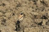 Woestijntapuit - Desert wheatear - Oenanthe deserti