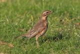 Koperwiek - Redwing - Turdus iliacus