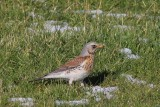 kramsvogel - Fieldfare - Turdus pilaris