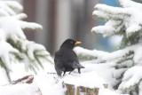 merel - Common Blackbird  - Turdus merula