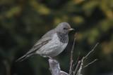 Lijsterachtige - thrus like birds