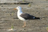 Kleine mantelmeeuw - Lesser black-backed gull - Larus fuscus