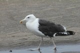 Grote mantelmeeuw - Grear black-backed gull - Larus marinus
