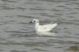 Dwergmeeuw - Little gull - Larus minutus