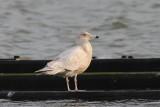 Grote burgemeester - Glaucous gull - Larus hyperboreus