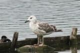 Pontische meeuw - Caspian Gull - Larus cachinnans