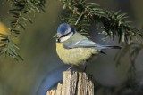 Pimpelmees - Blue tit - Parus caeruleus