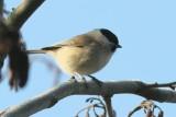 Matkop - Willow tit - Parus montanus