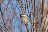 Bruinkopmees - Siberian tit  - Parus cinctus
