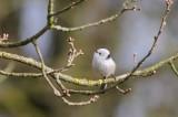 Witkopstaartmees - Long-tailed tit - Aegithalos caudatus caudatus