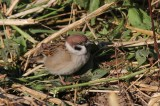 Ringmus - Tree sparrow - Passer montanus