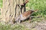 Heggemus - Hedge sparrow - Prunella modularis