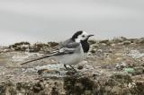 Witte kwikstaart - White wagtail - Motacilla alba