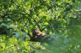 Nachtzwaluw - European nightjar / Gierzwaluw - Common swift