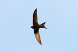 Gierzwaluw - Common Swift  - Apus apus