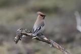 Pestvogel - Waxwing / Ijsvogel - Kingfisher / Winterkoning - Wren