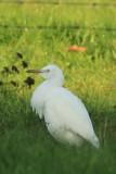 Koereiger - cattle egret - Bubulcus ibis