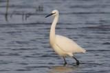 Kleine zilverreiger ,Little egret - Egretta garzetta