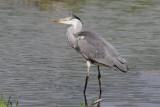 Blauwe reiger -  Heron - Ardea cinerea