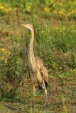 Purperreiger - Purpul heron - Ardea purpurea
